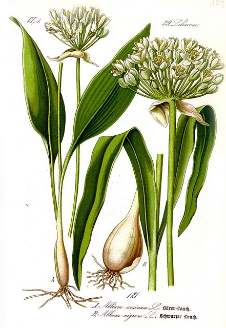 S'alimenter en situation de survie Illustration_Allium_ursinum1