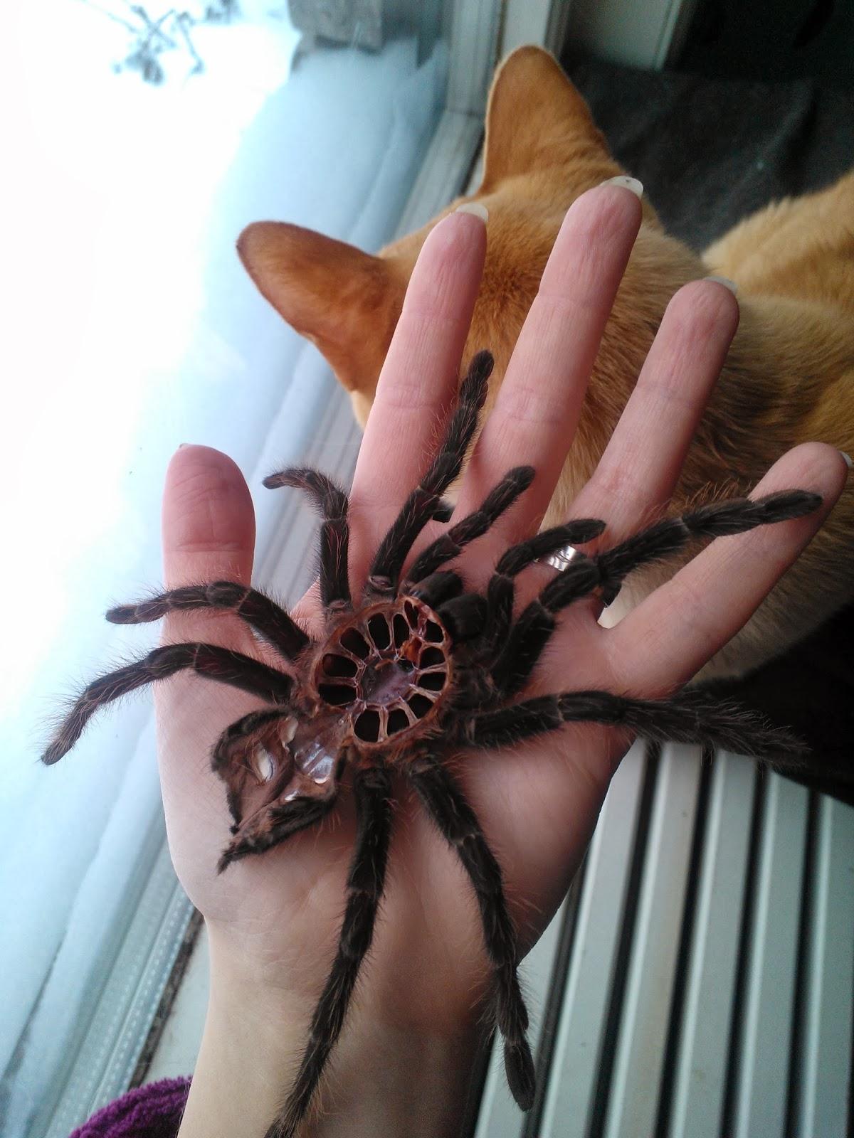 Hämähäkin vanha nahka Spider molt