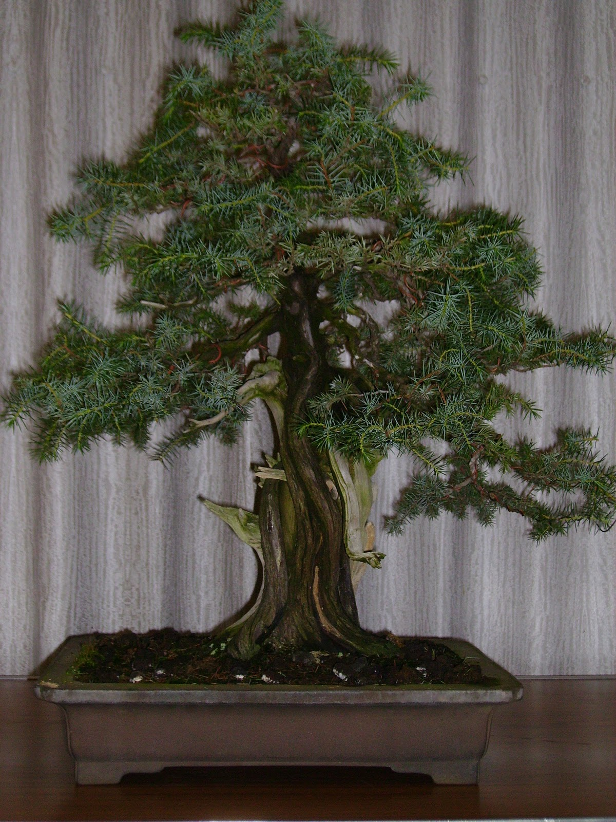 Ashfield Bonsai Club November 2011