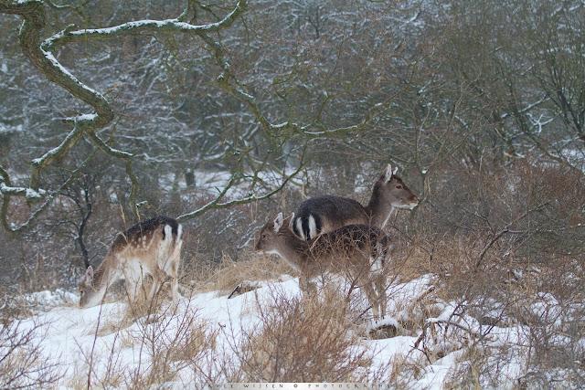 Damherten in de sneeuw - Fallow Deer in the snow - Dama dama