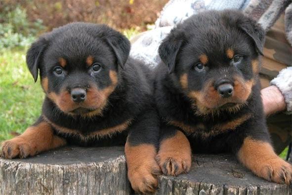 German+Rottweiler+puppies+01.jpg