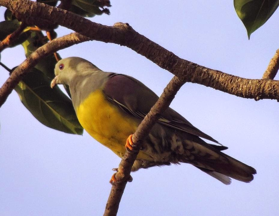 Bruce´s green pigeon