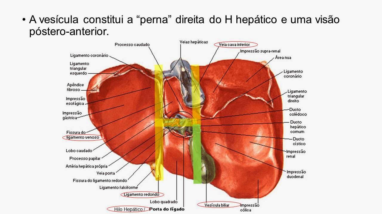 Contemporáneo Vesícula Biliar Anatomía Humana Foto - Anatomía de Las ...