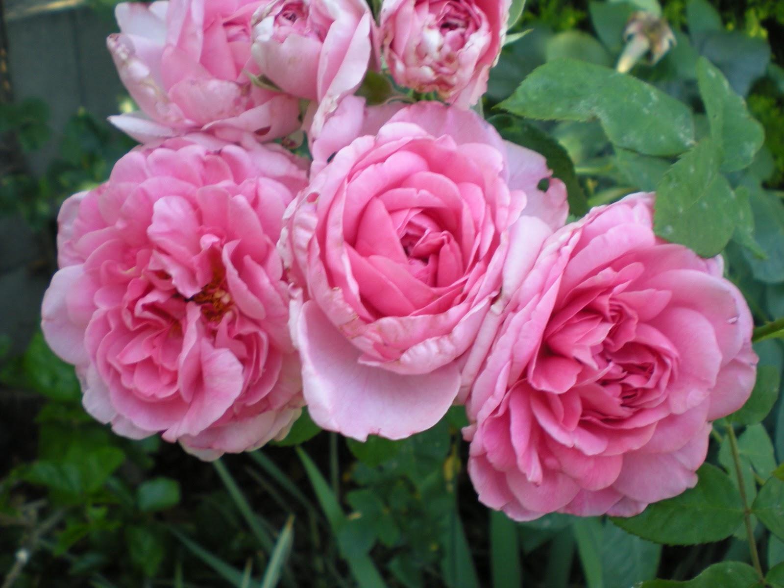 southern california gardening gertrude jekyll rose. Black Bedroom Furniture Sets. Home Design Ideas