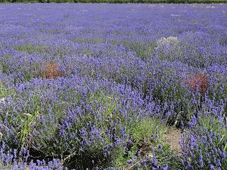 Somerset Lavender Farm, FMF Compaigne