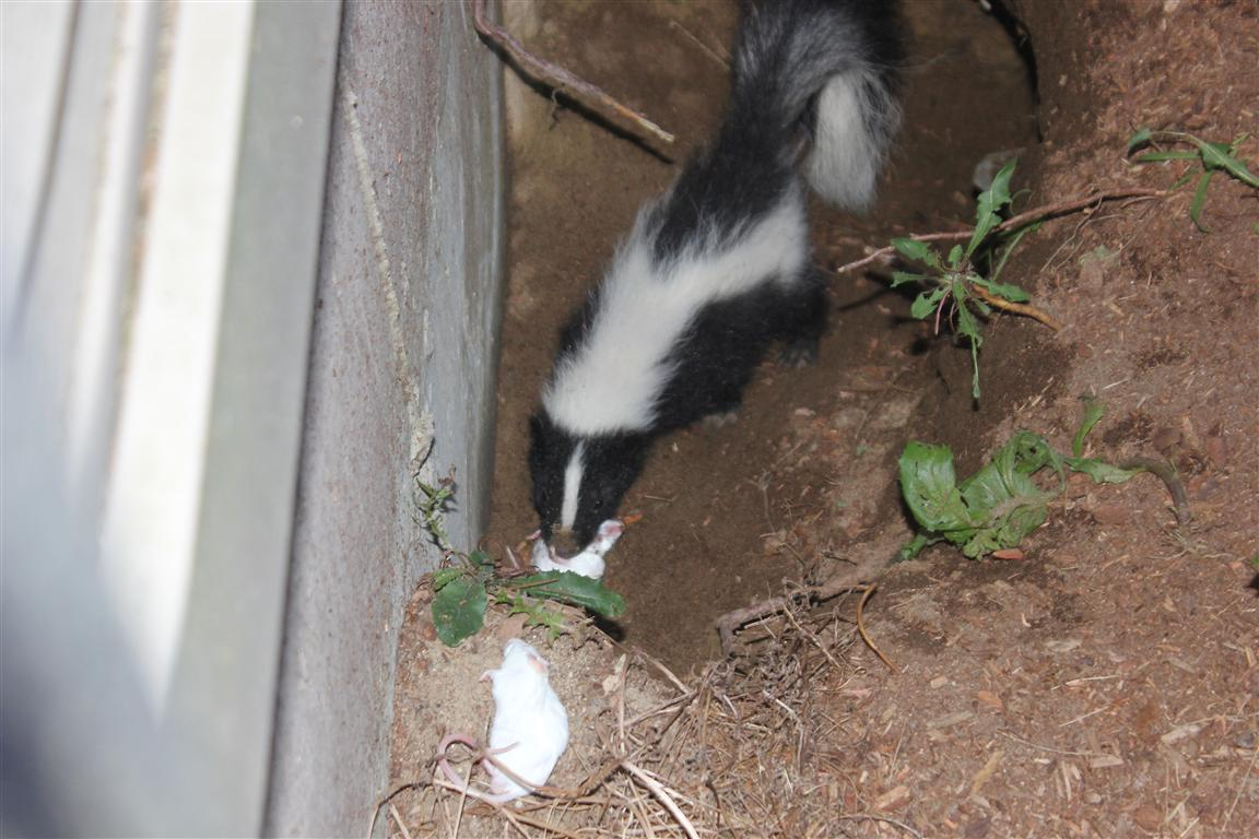 how to get rid of raccoons and possums