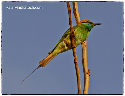 Beautiful, Green Bee-eater