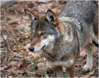Los últimos 500 ejemplares de lobos rojos en méxico Lobos_rojos