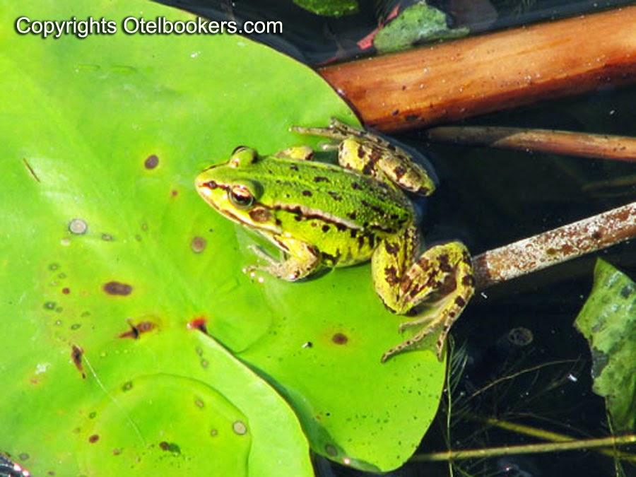 Frog in summer - Belarus