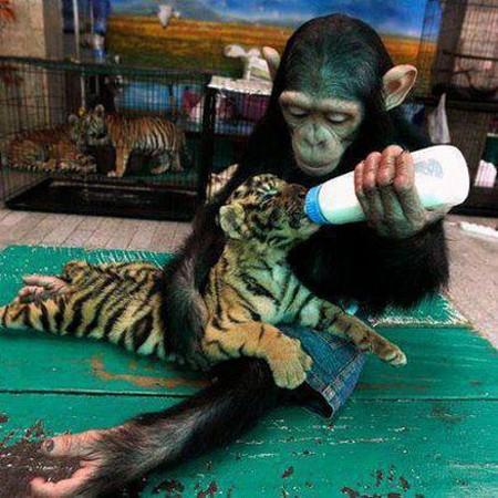 Hình ảnh vui khỉ cho hổ bú sữa