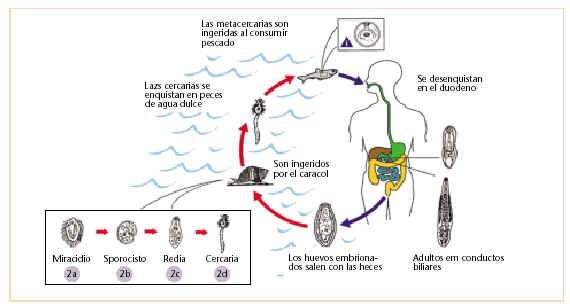 se ve el ciclo de transmisión de opistorquiasis