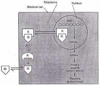 Mekanisme kerja hormon steroid. Hormon ini terikat pada Brotein reseptor intraselular yang nantinya akan membawa molekul steroid ke inti sel. Dalam inti sel, steroid akan memodifikasi bentuk mRNA dan mensistesis protein. DNA, asam deoksiribonukleat; Sl,hormon steroid; R protein reseptor.