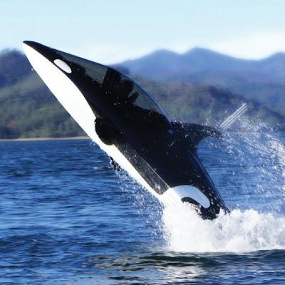 غواصة الحوت القاتل : غواصة تصل سرعتها إلى 50 ميلا في الساعة علي سطح الماء