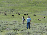 Part of the small herd we saw resting in Lamar Valley just off the road. (jo the yellowstone park )