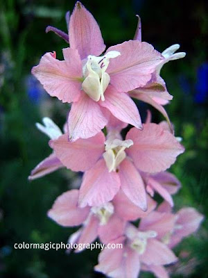 Rose larkspur flower picture
