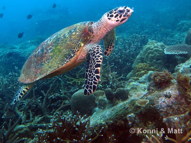 green turtle, tioman island, malaysia, south china sea