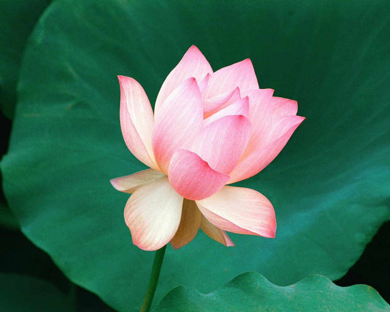 Image Gallary Lotus flower