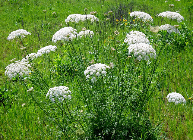 Queen Anne's Lace (Daucus carota) at White Rock Lake, Dallas, TX
