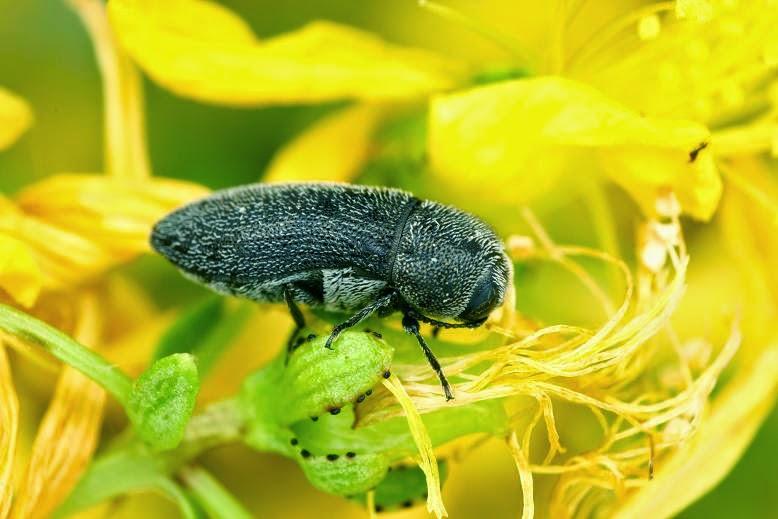 Acmaeoderella coarctata seminata