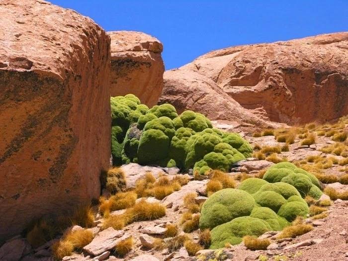 Yareta: Inilah Tumbuhan Purba Yang Berusia 3,000 Tahun