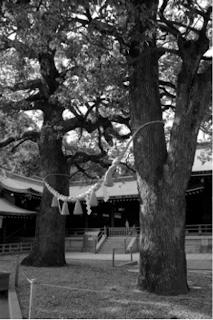 Couple d'arbres sacrés  aux abords du pavillon principal, sanctuaire Meiji à Tokyo