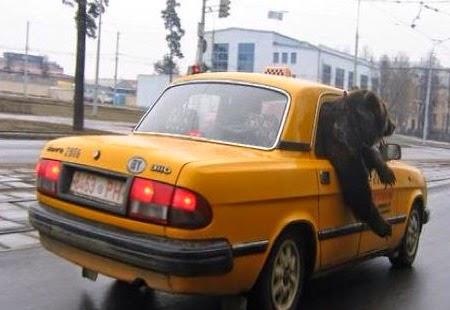 smešna slika: medved sedi u taksiju