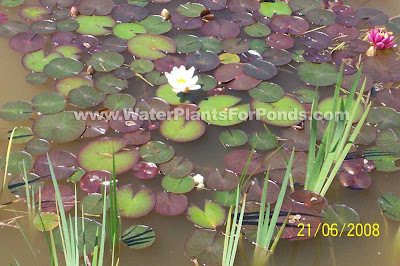 Always Know How To Calculate Pond Water Volume For Water Treatments or For Treating Goldfish Diseases