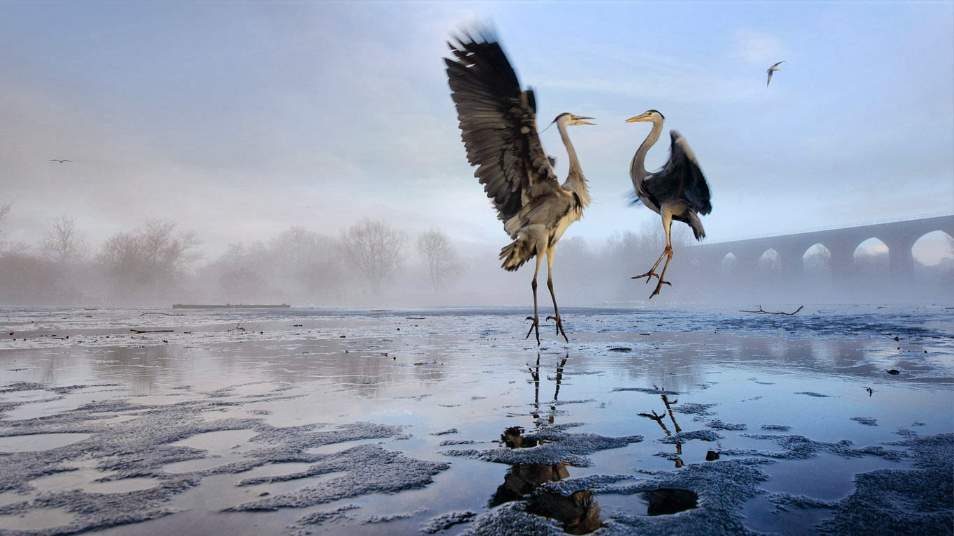 Two Grey herons (Ardea cinerea) squabbling over fish, River Tame, Stockport, Greater Manchester (© Terry Whittaker/Corbis) 349