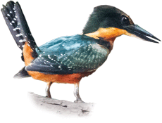 Martim-pescador-da-mata | Green-and-rufous Kingfisher