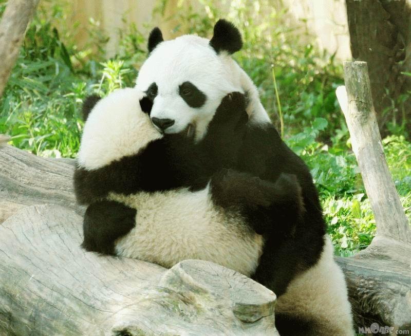 Animals in Love Panda Wallpaper | Best Wallpapers