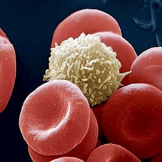 Glóbulo blanco acompañado de los glóbulos rojos