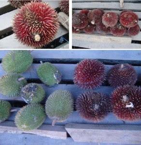 jenis durian