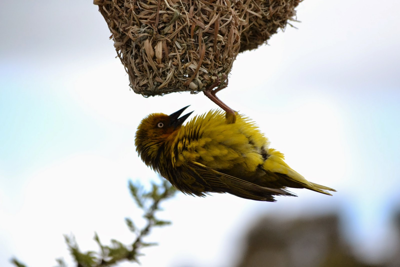 Cape Weaver on edge of nest