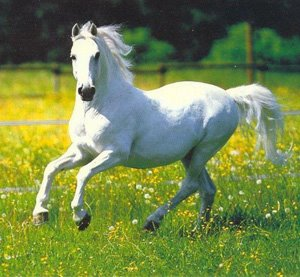 White running horses - photo#13