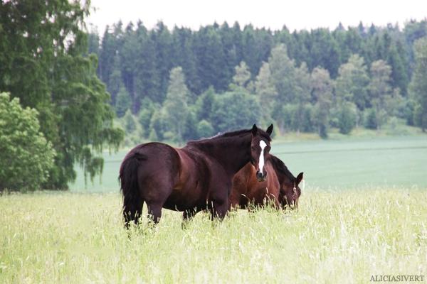 aliciasivert, alicia sivert, alicia sivertsson, midsommar, midsummer, häst, horse, pony, ponies, horses, hästar, ponnyer