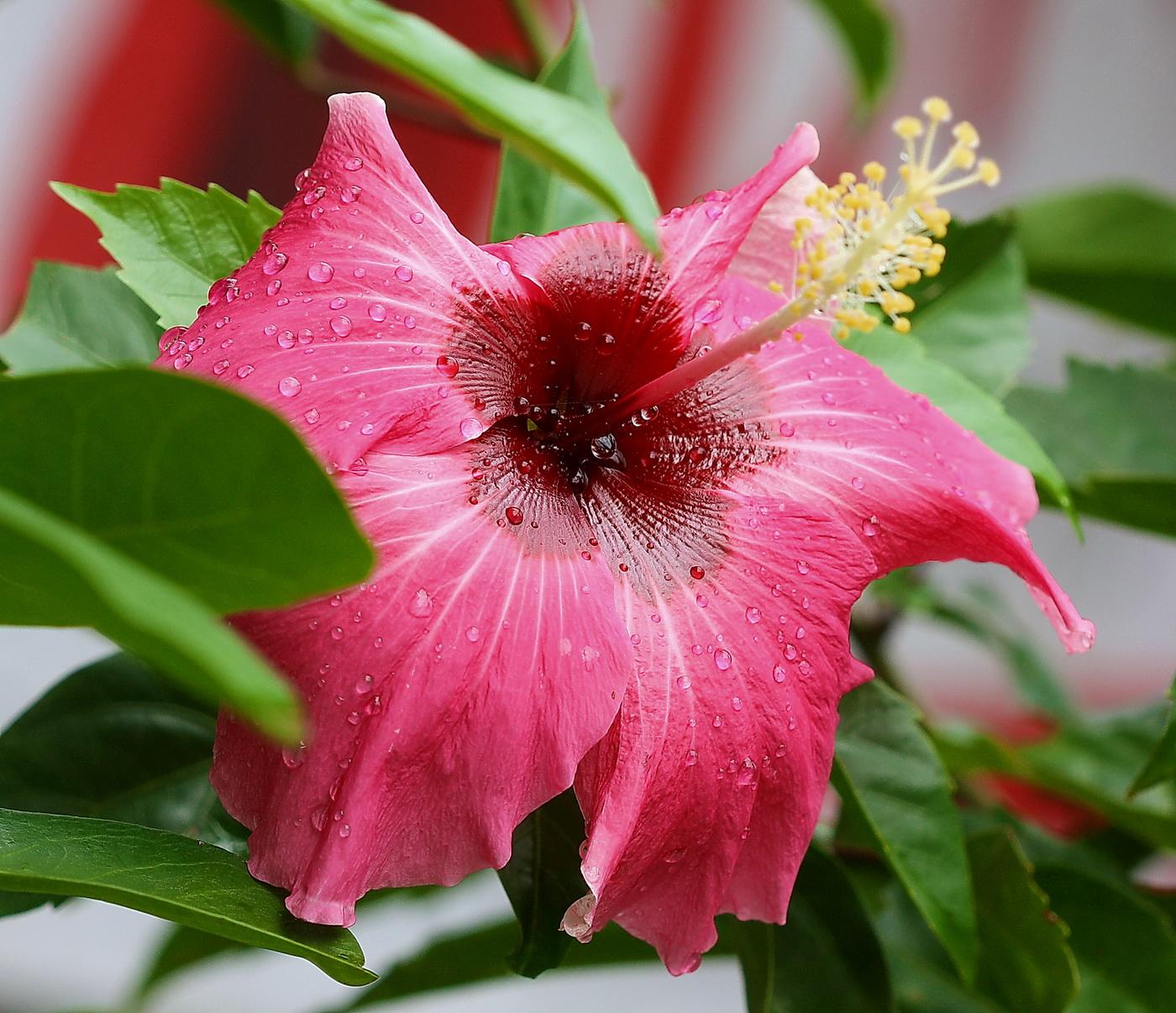 Bunga Kembang Sepatu. Diposting oleh Edwin Yepese di 23.55 2bae3124c1