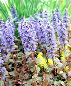Ajuga in April