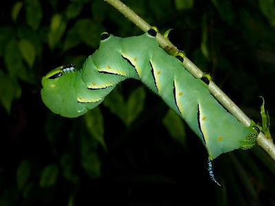 Sphinx kalmiae caterpillar