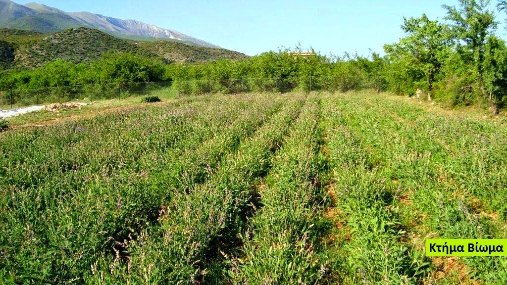 GREEK SAGE PLANTATION.
