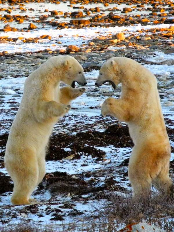 Filmmakers flock to Churchill to see the bears, who can often be found sparring… - What Happens In This Remote Town Every October Is Frighteningly Awesome. I Had No Idea.