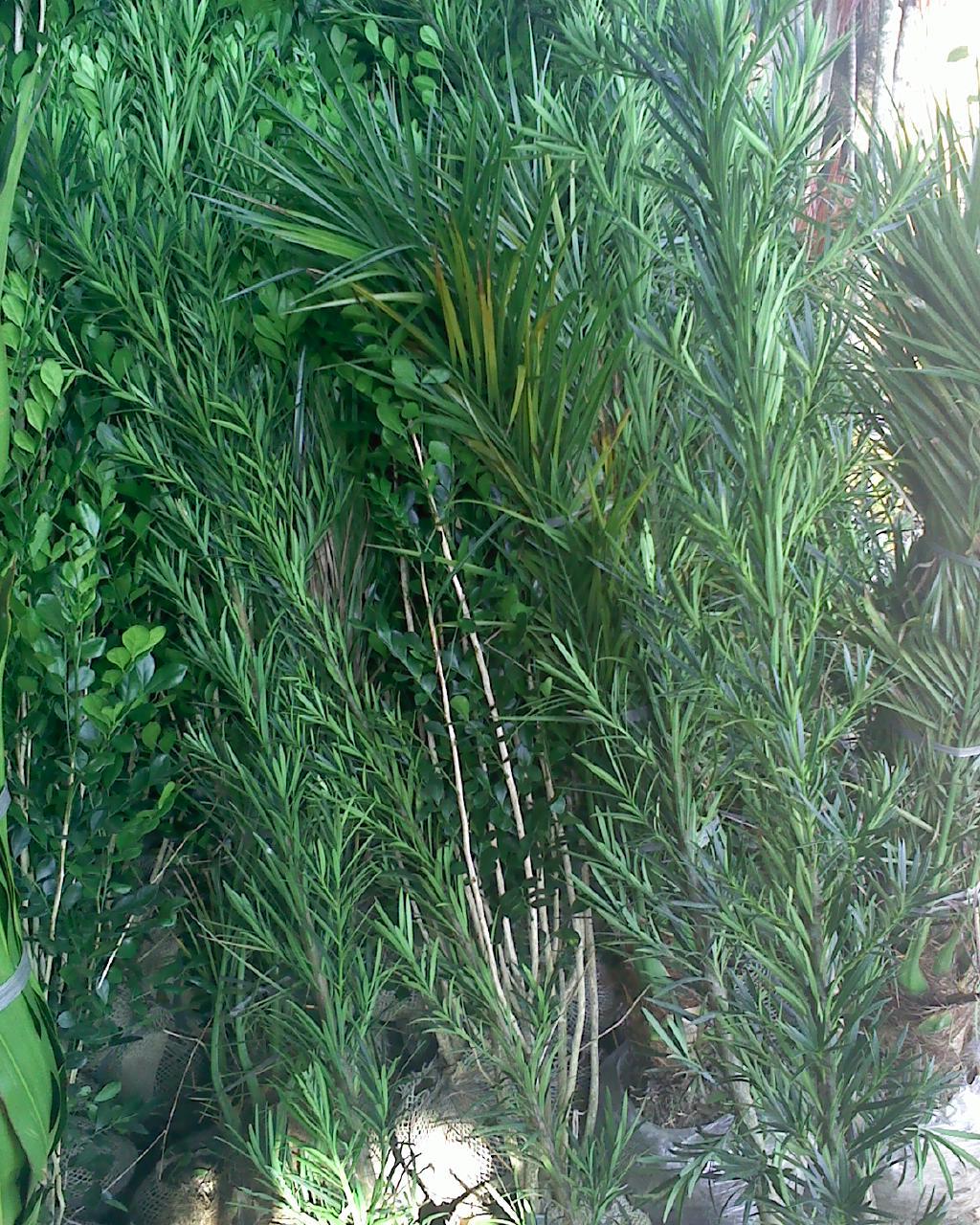 plantas jardim sombra:Paisagismo e Floricultura: Plantas de Meia – Sombra
