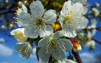 Suaves y perfumadas flores de manzana bajo el cielo azul