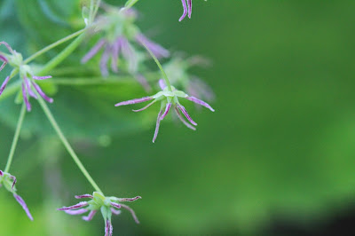 Thalictrum occidentale (Western Meadowrue)