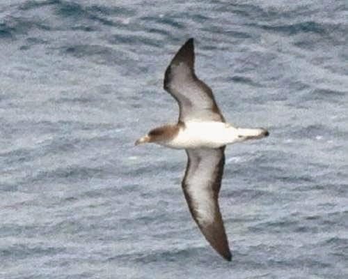 Indian birds - Cory's shearwater - Calonectris borealis
