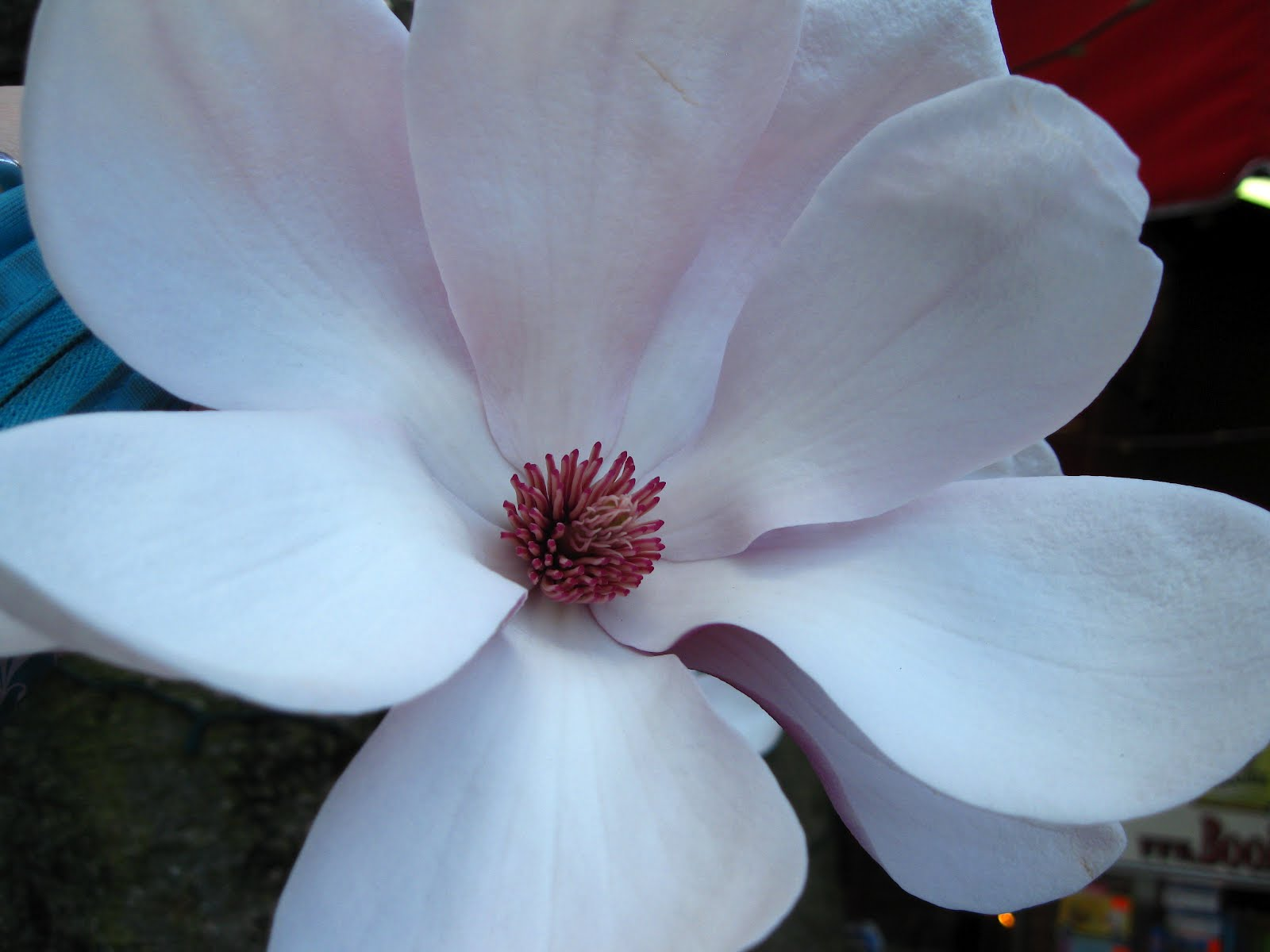 Difference Between Saucer Magnolia And Jane Magnolia