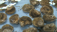 growing oysters