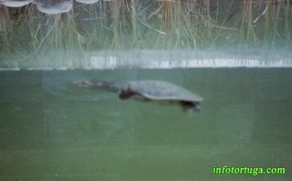 Apalone ferox - Tortuga de caparazón blando de Florida