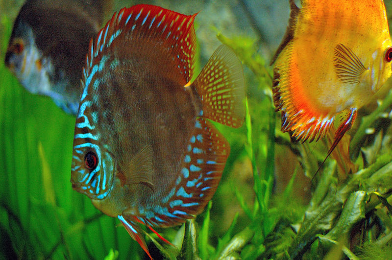 Freshwater tropical fish and aquariums for Keeping discus fish