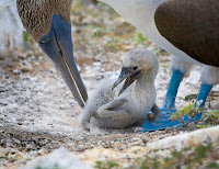 Blue Footed Boobie Tending to a Chick