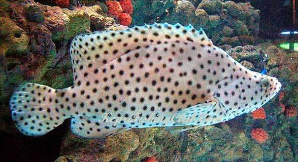Ikan Kerapu Tikus atau Kerapu Bebek